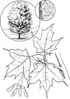 White Oak Coloring Page