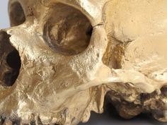 Memento (Gold Neanderthal Skull) is a memorial to a lost species . Homo Habilis, Brain Size, Gold Skull, Rite Of Passage, Human Skull, Museum Collection, Memento Mori, Lion Sculpture, Things To Come