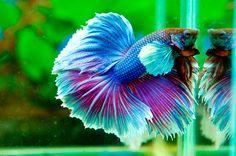 Big ear blue and pink betta fish photo