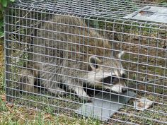 call me The Trapper Man if you need any wild animals like Raccoons or squirrels removed humanely.