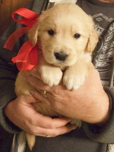 Dog Breeds A Golden Retriever Puppy.Best Christmas gift ever! - Warning: this post contains cuteness overload. [Editor's note — The title of this post is misleading. ALL dogs are the best dogs. Baby Animals, Funny Animals, Cute Animals, Wild Animals, Chien Golden Retriever, Golden Retrievers, Golden Retriever Puppies, Cute Puppies, Cute Dogs