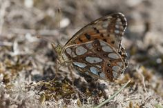 Kleine parelmoervlinder foto: Staatsbosbeheer
