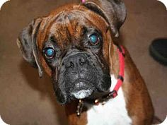 Aurora, IL - Boxer. Meet ROCKY, a dog for adoption. http://www.adoptapet.com/pet/17988587-aurora-illinois-boxer