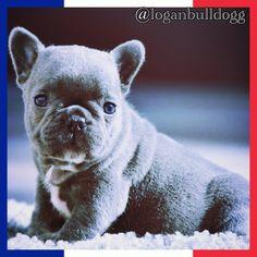 @loganbulldogg baby blue french. Canil www.frenchbluebulldog.com