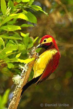 El carpintero candela o carpintero dorsicarmesí (Colaptes rivolii) es una especie de ave de la familia Picidae que se encuentra en Bolivia, Perú, Ecuador, Colombia y Venezuela. Vive en el bosque húmedo y el bosque nuboso, en altitudes entre los 950 y 3.500 m. Aquí lo puedes encontrar en unos pocos árboles, pero también en los arbustos bajos de altura.