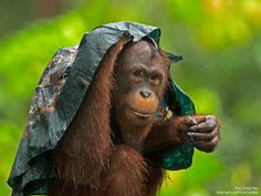 """""""Hey, it's not my fault that lady didn't hang on to her scarf."""" Orangutan in Malaysia by National Wildlife Photo Contest entrant Eng Siong Yeo. Baby Animals, Cute Animals, Rain Photo, Mountain Gorilla, Animal Sketches, Fauna, Dog Life, Mammals, Animal Rescue"""
