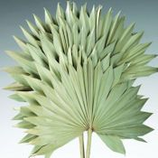 Dried Sun Palm Leaf Fans Single Bunch - Light Green by Curious Country Creations