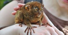 Learn more about these extraordinary and ancient primates....A stare like no other animal, super long fingers, velvety soft fur, the ability to catch insects or even birds with a well-timed pounce -- tarsiers are such extraordinary creatures! Here are a few things that make the tarsier an absolutely amazing animal