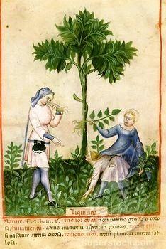 G is for Glabra  - Glycyrrhiza glabra / Zoethout