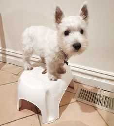 When you don't know you're afraid of heights until it's too late! Westie Puppies, Westies, Terrier Dogs, Terriers, Pet Pictures, Kinds Of Dogs, West Highland White, White Terrier, Cairns