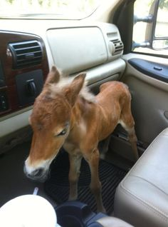 My vet friend rescued a abandoned baby mini horse. - Imgur