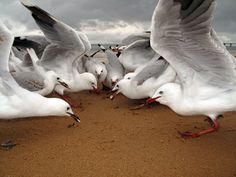 Seagulls at breakfast on Cowes Main Beach - South Coast - Australia - January 2010