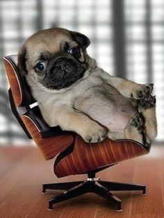 Hãy tải ngay cho dế yêu của bạn hình ảnh chú chó ngồi ghế cực chất, cực phong cách nhé! http://hinhnendepnhat.net/hinh-nen-dep-ngoi-theo-phong-cach-cua-cho.html