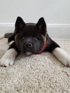 akita dog An inability to vacuum without him freaking out. Akita Puppies, Cute Puppies, Cute Dogs, Dogs And Puppies, Doggies, Japanese Akita, Japanese Dogs, American Akita Dog, Canis Lupus