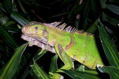 Iguana, sentada em uma árvore.