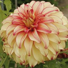 Dahlia 'Kid's Climax'Feed your plants with GrowBest from http://www.shop.embiotechsolutions.co.uk/GrowBest-EM-Seaweed-Fertilizer-Rock-Dust-Worm-Casts-3kg-GrowBest3Kg.htm