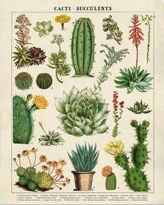 planting Drawing vintage - Vintage Succulents Poster, Vintage Botanical Print, Cactus Print, Cactus Art, Home Decor Wall Art Vintage Botanical Prints, Botanical Drawings, Botanical Art, Vintage Prints, Vintage Posters, Vintage Botanical Illustration, Botanical Posters, Vintage Style, Vintage Ideas