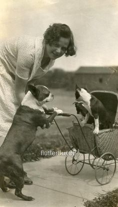 BOSTON TERRIER DOG PUSHING PUPPIES IN STROLLER, ADORABLE c 1929