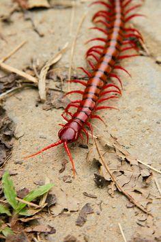 ˚Giant centipede; Bukit Lawang, Sumatra, Indonesia