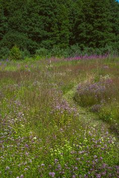 Matalaksi leikattu nurmipolku kulkee kukkakedon halki. - A mown path meanders through a flowering meadow. Photo Indred Kasesalu http://www.viherpiha.fi/pihasuunnittelu/kauneus-on-tarkeinta