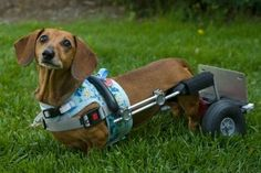 The Legacy of Frankie the Walk 'N Roll Dog - National Walk 'N Roll Dog Day founded in her memory and honor of all wheelchair dogs around the world.