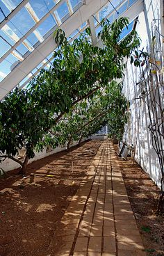 espaliered stonefruit, lost gardens of heligan Espaliers inside a greenhouse would have a much longer growing period.