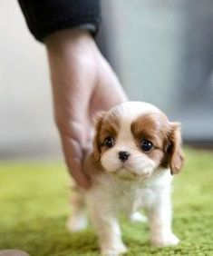 More About Cavalier King Charles Spaniel And Kids Cute Teacup Puppies, Cute Dogs And Puppies, Baby Dogs, Puppies Puppies, Doggies, King Charles Puppy, Cavalier King Charles Dog, Cavalier King Spaniel, Spaniel Puppies