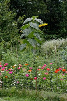 Sunflower Garden Ideas find this pin and more on gardening sunflower I Think Ill Plant A Few Mammoth Sunflowers Right In The Middle Of My