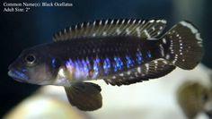 Photo by The Mahn Cichlid Aquarium, Tropical Aquarium, Tropical Fish, Lake Tanganyika, Freshwater Aquarium Fish, African Cichlids, Colorful Animals, Planted Aquarium, Fish Tank
