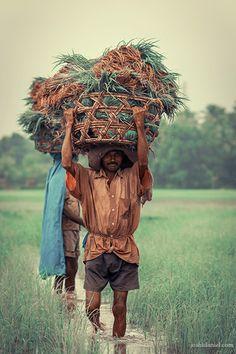 A farmer walking through fields in Hegde, Karnataka while holding a basket Farmers Walk, Alaskan Klee Kai, Arabian Sea, India Culture, Incredible India, Kerala, Fields, Two By Two, Lion Sculpture