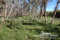 Grassy part along the Finke River bank (western side) just a few hundred meters west from the Finke River Trailhead. Section Image looking south. © Explorers Australia Pty Ltd 2014 River Bank, Trekking, Vineyard, Trail, Australia, Explore, World, Plants, Outdoor