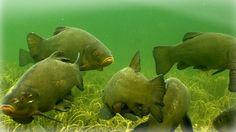 Linaski maimud Ocean Creatures, Planted Aquarium, Dinosaur Stuffed Animal, Fish, Pets, Animals, Animales, Animaux, Pisces