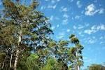 eykaluptuspuu