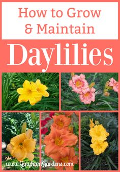 flower garden care Daylilies are easy perennials flowers to grow and maintain, and a must have flower for your garden or landscape. Tips for Growing Daylilies, including Daylily Care and Maintenance Flowers Garden, Flower Pots, Planting Flowers, Flowering Plants, Flower Gardening, Cactus Flower, Flower Landscape, Garden Landscape Design, Landscape Photos