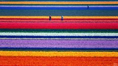 campos de tulipanes de Holanda