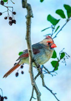 Female Cardinal | by Macomb Paynes