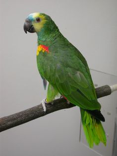 Amazon - Blue Fronted Amazon Parrot, Colourful Birds, Parrots, Pet Birds, South America, Crystal, American, Pets, Beautiful