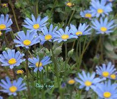 「ブルーデイジー」の画像検索結果 Interior And Exterior, Daisy, Plants, Daisies, Flora, Plant, Planting, Bellis Perennis