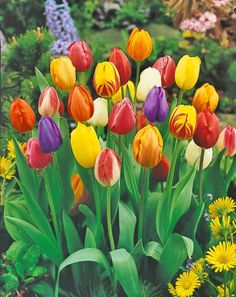 Tulips...who doesn't love em! :)