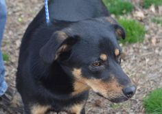 Meet Marco, a Petfinder adoptable Rottweiler Dog | Sandston, VA | Marco is a sweet, sweet, sweet fellow who is looking for his forever home!  While visiting the...