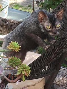 """How To Tell If Your New Lykoi Kitten Is A Werewolf Cat Or A WerewolfLykoi, so-called """"werewolf cats,"""" are taking the internet by storm. But before you go out and buy one, be careful you don't get. Lykoi Cat, Cool Cats, Werewolf Cat, Animals And Pets, Cute Animals, Gatos Cool, Selkirk Rex, Unique Cats, Softies"""