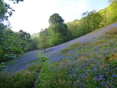Bluebells on the steep slopes of Hebden Dale, better known as Hardcastle Crags, one of the jewels in the crown of the National Trust in Yorkshire - on the doorstep at Elmet Farmhouse holiday cottage Hebden Bridge, Yorkshire Dales, Countryside, England, Country Roads, Farmhouse, Cottage, National Trust, Walks