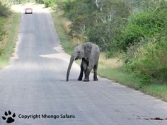 Young elephant on the road Kruger National Park, National Parks, View Photos, Safari, Elephant, Animals, Animales, Animaux, Elephants
