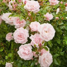 New Dawn Climbing roses can be just as fragrant as their bushy cousins -- a fact proven by gorgeous 'New Dawn'. It features big, soft-pink flowers throughout the summer. Be sure to give 'New Dawn' plenty of room to climb! New Dawn Climbing Rose, Climbing Roses, Fragrant Roses, Shrub Roses, Pruning Roses, Pruning Plants, Rose Varieties, Hybrid Tea Roses, Veggie Gardens