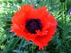 Orange Scarlet Orientale Poppy Flower Seeds by YouMakeMeSmileSeeds