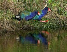 The Takahē or South Island Takahē is a flightless bird indigenous to New Zealand and belonging to the rail family Pretty Birds, Beautiful Birds, Grassland Habitat, Flightless Bird, Rare Birds, All Gods Creatures, South Island, Colorful Birds, Science Nature