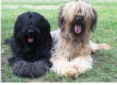 Briard Breeder A place where Briard puppies live