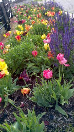 Tulip Garden, Liberty State Park, Jersey City, NJ