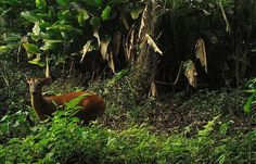 Muntjac seen on #wildlife trekking tour at Nam Et-Phou Louey National Protected Area in #Laos