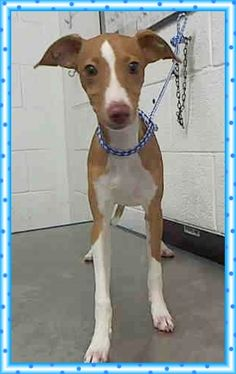 DOVE (A1717158) I am a female brown and white Terrier. The shelter staff think I am about 5 months old and I weigh 10 pounds. I was found as a stray and I may be available for adoption on 08/13/2015. Miami Dade https://www.facebook.com/urgentdogsofmiami/photos/pb.191859757515102.-2207520000.1438995322./1024851794215890/?type=3&theater